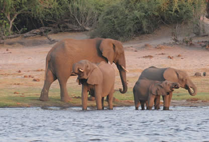 Elephants at play in the Chobe River